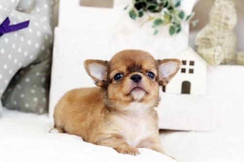 チワワ(ロング)の子犬(ID:1255411555)の3枚目の写真/更新日:2017-02-15