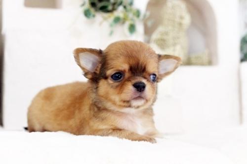チワワ(ロング)の子犬(ID:1255411555)の4枚目の写真/更新日:2017-02-15