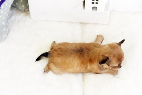 チワワ(ロング)の子犬(ID:1255411555)の5枚目の写真/更新日:2017-02-15