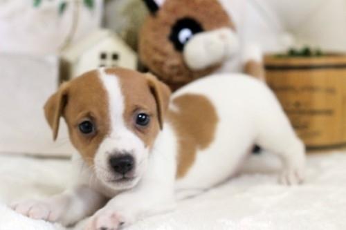 ジャックラッセルテリアの子犬(ID:1255411556)の1枚目の写真/更新日:2017-02-15
