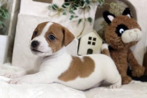 ジャックラッセルテリアの子犬(ID:1255411556)の2枚目の写真/更新日:2017-02-15