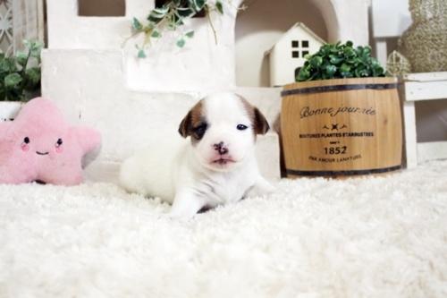 ジャックラッセルテリアの子犬(ID:1255411557)の1枚目の写真/更新日:2019-04-23