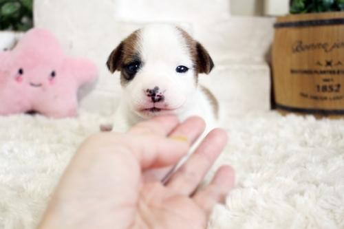ジャックラッセルテリアの子犬(ID:1255411557)の2枚目の写真/更新日:2017-02-15