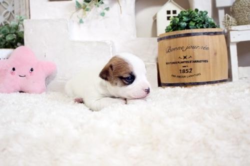 ジャックラッセルテリアの子犬(ID:1255411557)の3枚目の写真/更新日:2017-02-15