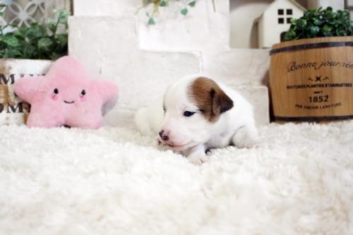 ジャックラッセルテリアの子犬(ID:1255411557)の4枚目の写真/更新日:2019-04-23