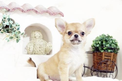 チワワ(ロング)の子犬(ID:1255411558)の1枚目の写真/更新日:2017-02-20