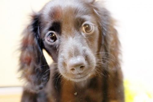 カニンヘンダックスフンド(ロング)の子犬(ID:1255411559)の1枚目の写真/更新日:2017-02-20