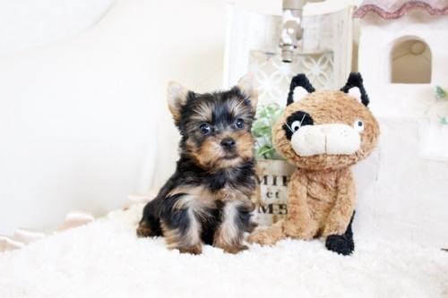 ヨークシャーテリアの子犬(ID:1255411560)の1枚目の写真/更新日:2017-02-20