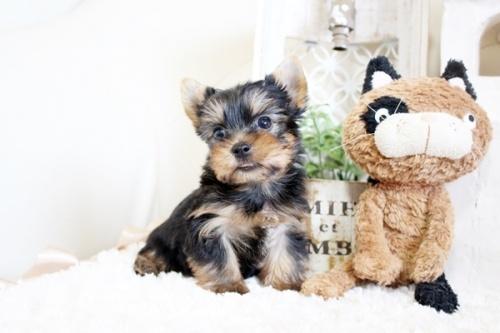 ヨークシャーテリアの子犬(ID:1255411560)の2枚目の写真/更新日:2017-02-20