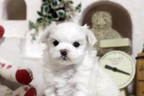 マルチーズの子犬(ID:1255411561)の1枚目の写真/更新日:2017-02-20