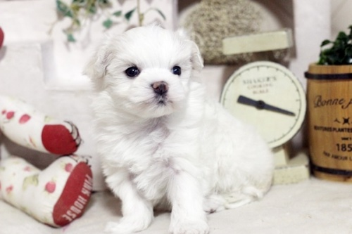 マルチーズの子犬(ID:1255411561)の2枚目の写真/更新日:2020-12-12