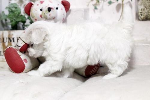 マルチーズの子犬(ID:1255411561)の3枚目の写真/更新日:2020-12-12