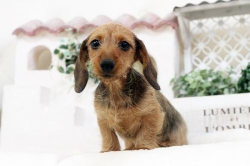 カニンヘンダックスフンド(ワイアー)の子犬(ID:1255411562)の1枚目の写真/更新日:2017-02-27