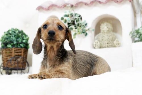 カニンヘンダックスフンド(ワイアー)の子犬(ID:1255411562)の2枚目の写真/更新日:2017-02-27