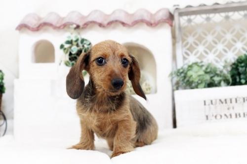 カニンヘンダックスフンド(ワイアー)の子犬(ID:1255411562)の3枚目の写真/更新日:2017-02-27