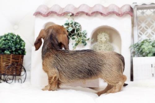 カニンヘンダックスフンド(ワイアー)の子犬(ID:1255411562)の4枚目の写真/更新日:2017-02-27