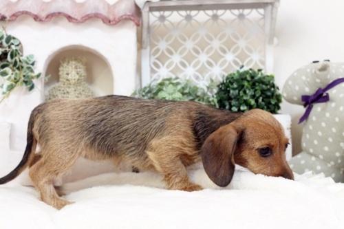 カニンヘンダックスフンド(ワイアー)の子犬(ID:1255411562)の5枚目の写真/更新日:2017-02-27