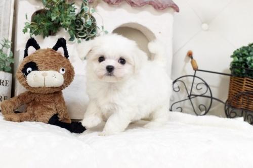 マルチーズの子犬(ID:1255411563)の2枚目の写真/更新日:2017-02-27