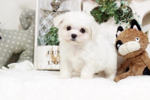マルチーズの子犬(ID:1255411563)の3枚目の写真/更新日:2017-02-27