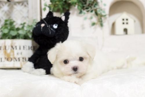 マルチーズの子犬(ID:1255411564)の2枚目の写真/更新日:2019-09-24