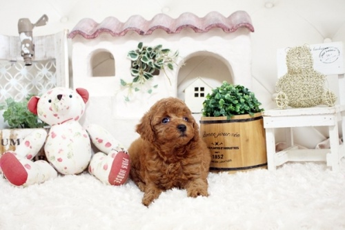 トイプードルの子犬(ID:1255411565)の1枚目の写真/更新日:2018-06-15