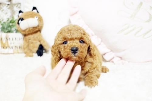 トイプードルの子犬(ID:1255411565)の2枚目の写真/更新日:2018-06-15