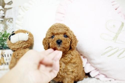 トイプードルの子犬(ID:1255411565)の3枚目の写真/更新日:2018-06-15