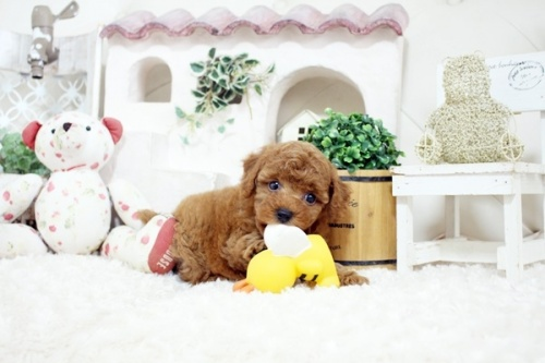 トイプードルの子犬(ID:1255411565)の4枚目の写真/更新日:2018-06-15