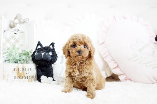 トイプードルの子犬(ID:1255411566)の1枚目の写真/更新日:2017-03-03