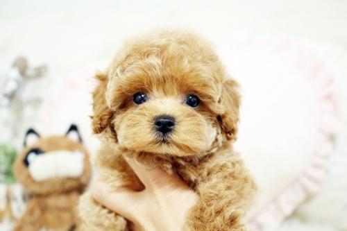 トイプードルの子犬(ID:1255411566)の2枚目の写真/更新日:2019-02-26