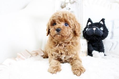 トイプードルの子犬(ID:1255411566)の3枚目の写真/更新日:2019-02-26