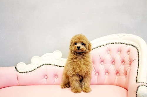 トイプードルの子犬(ID:1255411567)の2枚目の写真/更新日:2018-06-15