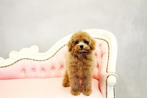 トイプードルの子犬(ID:1255411567)の3枚目の写真/更新日:2018-06-15