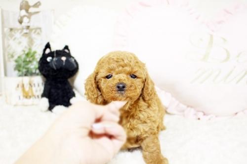 トイプードルの子犬(ID:1255411568)の1枚目の写真/更新日:2017-03-03