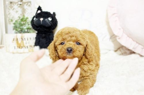 トイプードルの子犬(ID:1255411568)の2枚目の写真/更新日:2017-03-03
