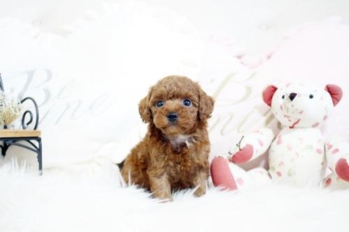 トイプードルの子犬(ID:1255411569)の1枚目の写真/更新日:2017-03-27