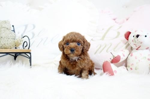 トイプードルの子犬(ID:1255411569)の2枚目の写真/更新日:2017-03-27