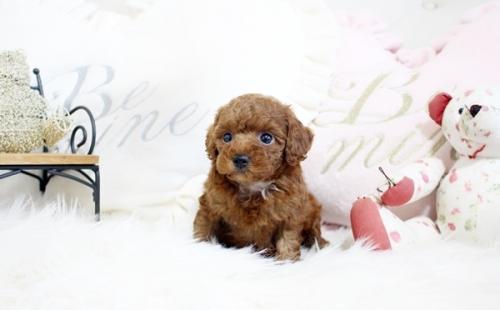 トイプードルの子犬(ID:1255411569)の3枚目の写真/更新日:2017-03-27