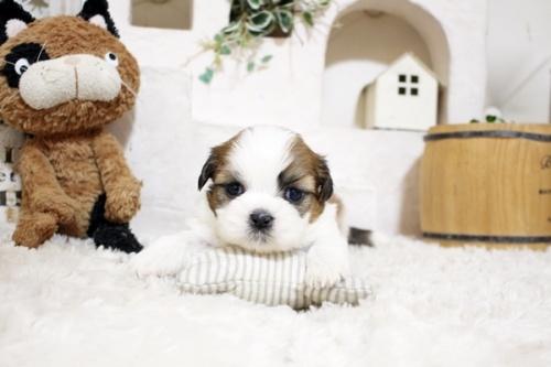 シーズーの子犬(ID:1255411570)の1枚目の写真/更新日:2017-03-03