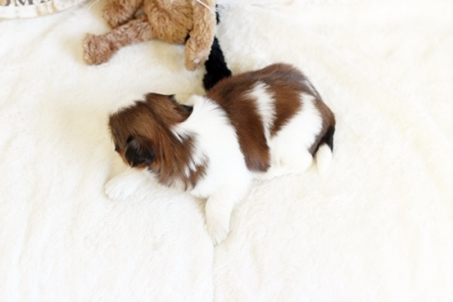 シーズーの子犬(ID:1255411570)の3枚目の写真/更新日:2017-03-03
