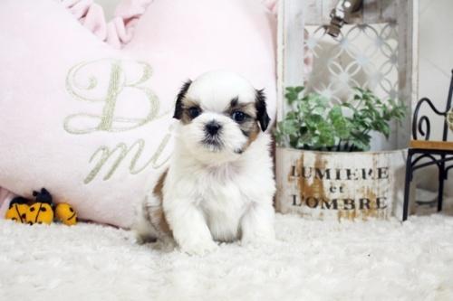 シーズーの子犬(ID:1255411571)の1枚目の写真/更新日:2017-03-03