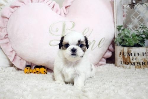 シーズーの子犬(ID:1255411571)の2枚目の写真/更新日:2017-03-03