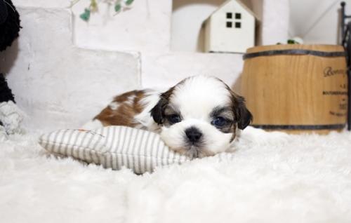 シーズーの子犬(ID:1255411572)の1枚目の写真/更新日:2017-03-03
