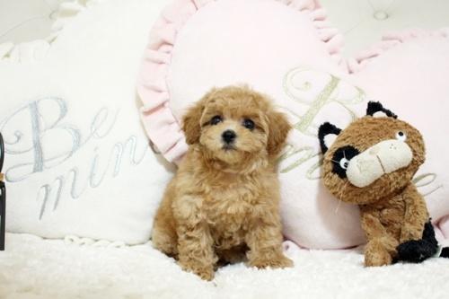 トイプードルの子犬(ID:1255411573)の1枚目の写真/更新日:2017-03-07