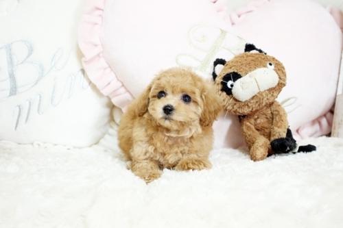トイプードルの子犬(ID:1255411573)の2枚目の写真/更新日:2017-03-07