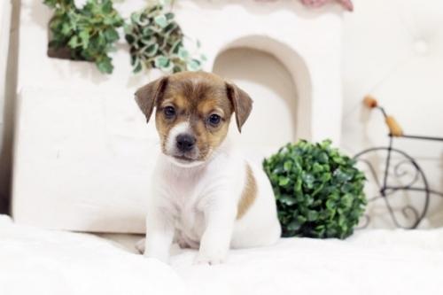 ジャックラッセルテリアの子犬(ID:1255411574)の1枚目の写真/更新日:2019-04-23
