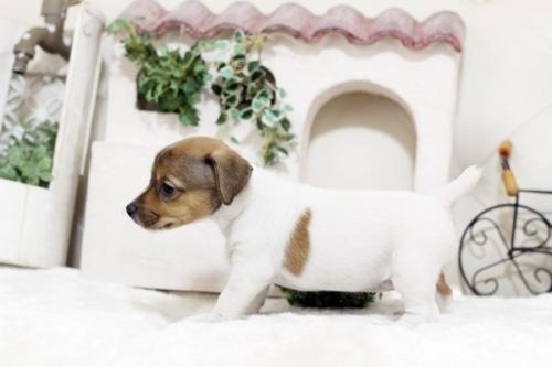 ジャックラッセルテリアの子犬(ID:1255411574)の3枚目の写真/更新日:2019-04-23