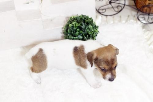 ジャックラッセルテリアの子犬(ID:1255411574)の4枚目の写真/更新日:2017-03-07