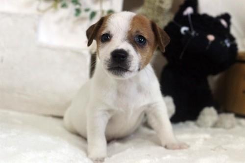 ジャックラッセルテリアの子犬(ID:1255411575)の1枚目の写真/更新日:2017-03-07