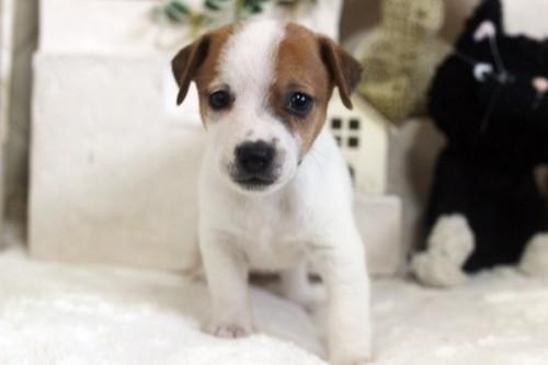ジャックラッセルテリアの子犬(ID:1255411575)の2枚目の写真/更新日:2019-03-22